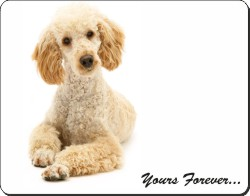 "Apricot Poodle ""Yours Forever..."", AD-CP7y"