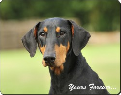 "Doberman Pinscher Dog ""Yours Forever..."", AD-D2y"