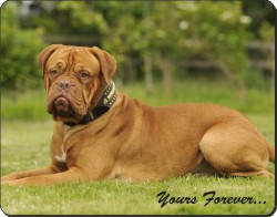 "Dogue De Bordeaux ""Yours Forever..."", AD-DB2y"