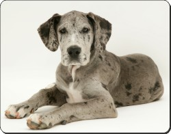 Blue Merle Great Dane, AD-GD2