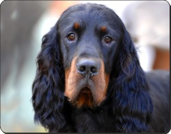 New-Gordon Setter Dog, AD-GOR2