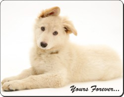 White German Shepherd with Sentiment, AD-GS7