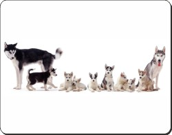 Siberian Huskies and Puppies, AD-H56