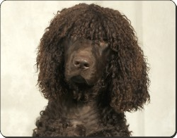Irish Water Spaniel, AD-IWS