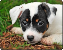 Jack Russell Puppy Dog, AD-JR59