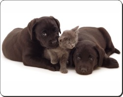 Black Labrador Puppies and Kitten, AD-L49