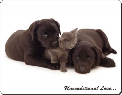 Black Labrador Puppies and Kitten with Love, AD-L49u