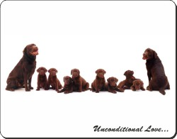 Chocolate Labradors with Love, AD-L52u