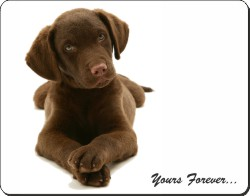 Chocolate Labrador with Sentiment, AD-L58