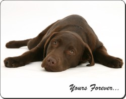 Chocolate Labrador with Sentiment, AD-L59