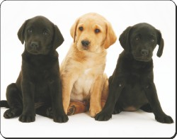 Black and Yellow Labrador Puppies, AD-L88