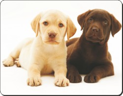 Yellow and Chocolate Labrador Puppies, AD-L89