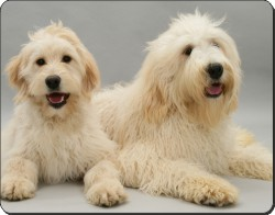 Labradoodles, AD-LD1