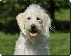 White Labradoodle, AD-LD3