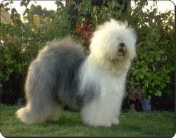 Old English Sheepdog, AD-OES1