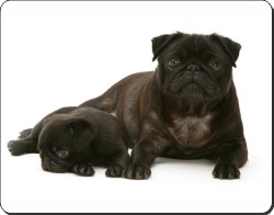 Black Pug and Puppy, AD-P91