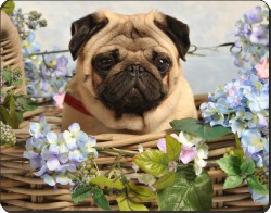 Fawn Pug Dog in a Basket, AD-P96