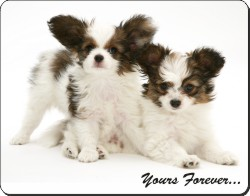 Papillon Puppies with Sentiment, AD-PA66