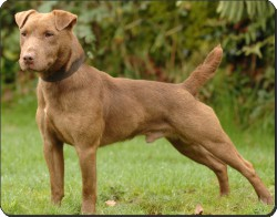 Patterdale Terrier, AD-PDT1