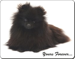 Pomeranian with Sentiment, AD-PO93