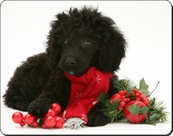 Poodle and Christmas Decorations, AD-POD3