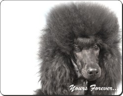 Black Poodle with Sentiment, AD-POD4
