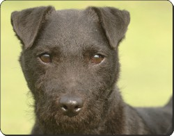 Patterdale Terrier, AD-PT2