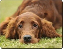 Irish Red Setter Puppy, AD-RS2