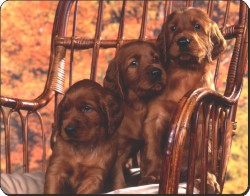 Irish Red Setter Puppies, AD-RS53