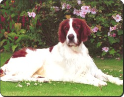 Red and White English Setter, AD-RWS1