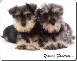 Miniature Schnauzers with Sentiment, AD-S76