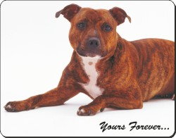 Staffordshire Bull Terrier with Sentiment, AD-SBT10