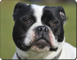 Black and White Staffordshire Bull Terrier, AD-SBT11