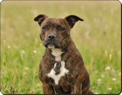 Staffordshire Bull Terrier Dog, AD-SBT15
