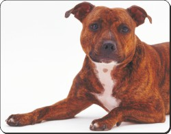 Brindle Staffordshire Bull Terrier, AD-SBT6