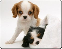 Cavalier King Charles Spaniel Puppies, AD-SKC10