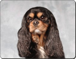 Black and Tan King Charles Spaniel, AD-SKC2