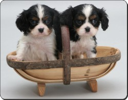 King Charles Spaniel Puppies, AD-SKC4