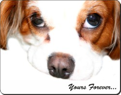 Cavalier King Charles Spaniel with Sentiment, AD-SKC57