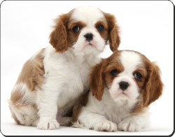 Blenheim King Charles Spaniel Puppies, AD-SKC5