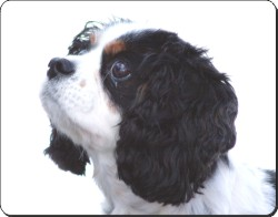 Tri-Colour King Charles Spaniel, AD-SKC6