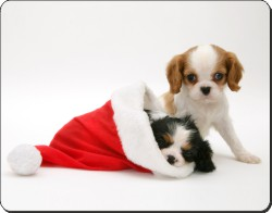 King Charles Spaniels in Christmas Hat, AD-SKC8