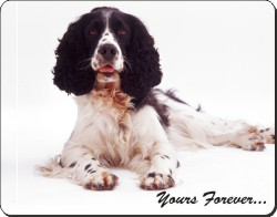Springer Spaniel with Sentiment, AD-SS8