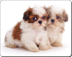 Shih-Tzu Puppies, AD-SZ2