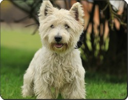 West Highland Terrier Dog, AD-W10