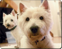 West Highland Terriers, AD-W1