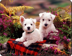 West Highland Terriers, AD-W2