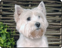 West Highland Terrier, AD-W33