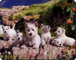 West Highland Terriers, AD-W4