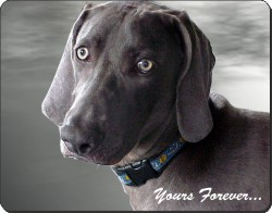 Weimaraner with Sentiment, AD-W79